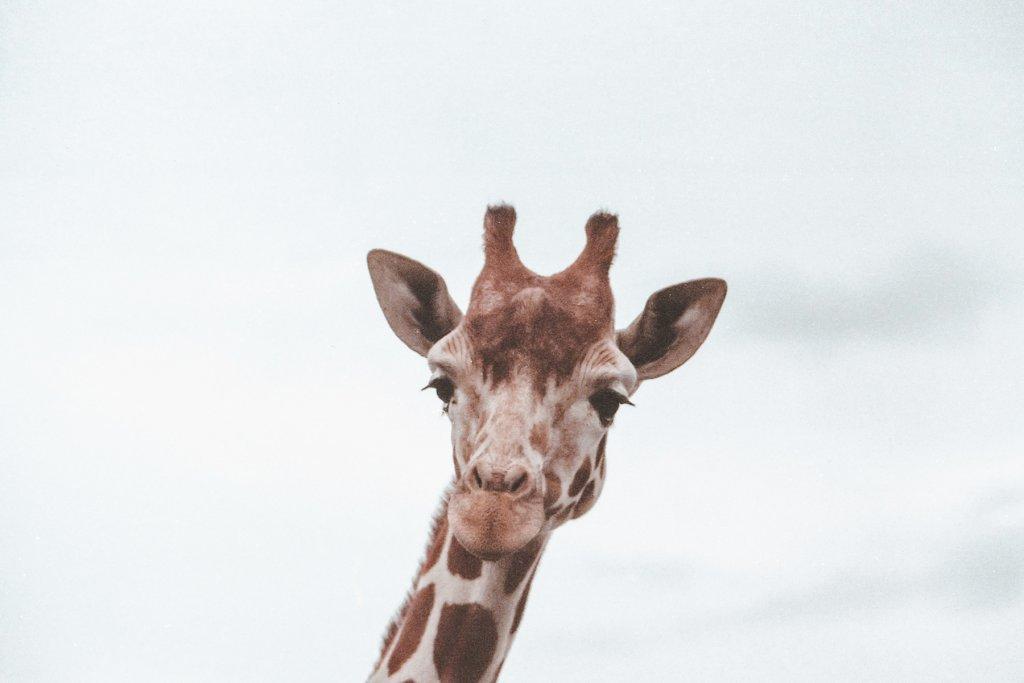 zoo, Köln, Giraffe – ©Unsplash