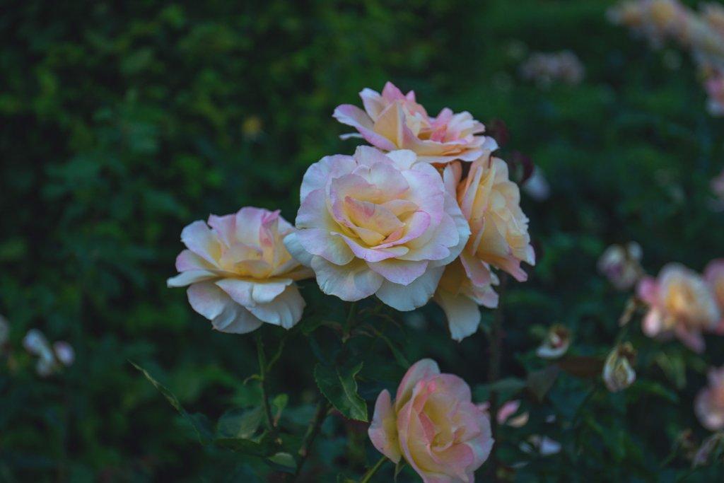 Rosengarten – ©Unsplash